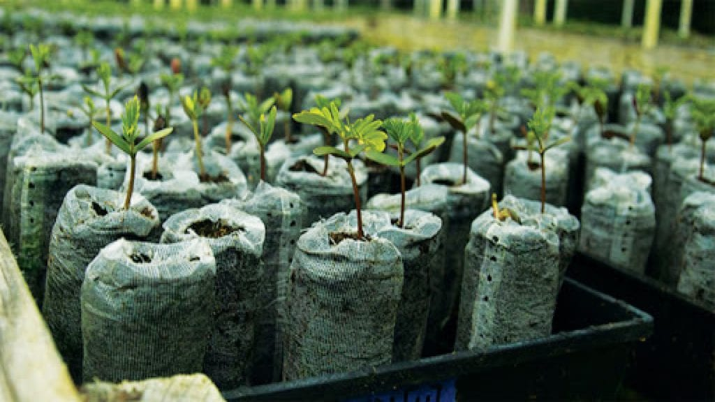 koa tree sapling planted by rising sun solar